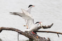 白色海鸥抓住鱼在湖 免版税库存图片