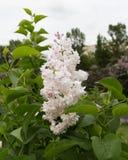 白色淡紫色开花 库存照片