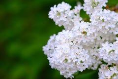 白色淡紫色灌木,甜 免版税库存图片