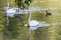 白色游泳在清楚的湖的天鹅和棕色鸭子浇灌 库存照片