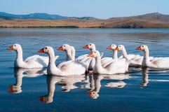 白色游泳鹅群  图库摄影