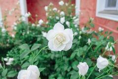 白色湿玫瑰在风暴以后的一个晴天 免版税库存图片