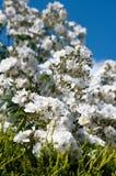 白色漫无边际的玫瑰背景浅焦点 免版税库存照片