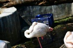 白色火鸟鸟 免版税图库摄影