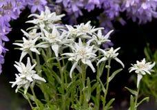 白色火绒草属和会开蓝色钟形花的草 图库摄影