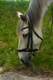 ?? 白色灰色马吃草在绿草的在森林,在皮革鞔具利用的马,关闭画象 库存照片