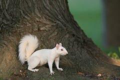 白色灰鼠在Olney 图库摄影