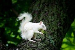 白色灰鼠 免版税库存图片