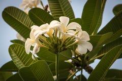白色热带花(羽毛,赤素馨花)在庭院里 库存照片