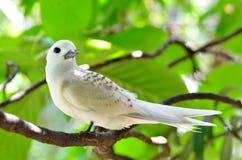 白色燕鸥 免版税图库摄影