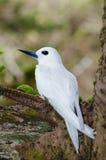 白色燕鸥& x28; Gygis alba& x29;坐鸡蛋 免版税库存图片