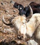 白色牦牛头在途中的对珠穆琅玛营地 图库摄影