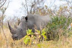白色犀牛与垫铁的细节,偷猎的原因的关闭和画象和威胁 在nat的克鲁格的大五徒步旅行队 免版税图库摄影
