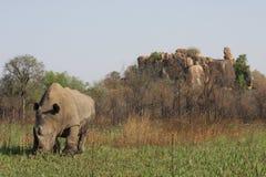 白色犀牛公牛在Matopos 免版税库存照片