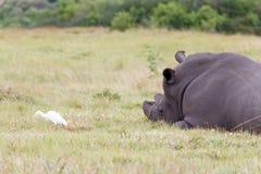 白色犀牛和鸟 免版税图库摄影