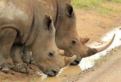白色犀牛喝 库存图片
