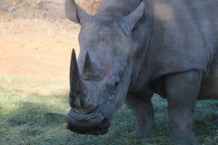 白色犀牛在纳米比亚 库存图片