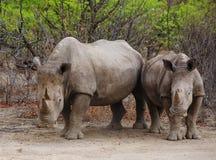 2白色犀牛在Ongava 免版税库存图片