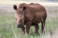 白色犀牛在Rietvlei NR 免版税库存照片