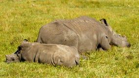白色犀牛家庭睡觉 图库摄影