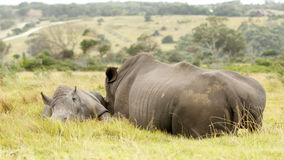 白色犀牛家庭睡觉 免版税库存照片