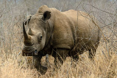 白色犀牛或正方形有嘴犀牛在Hlane皇家国家公园,斯威士兰 免版税库存图片