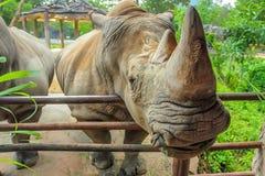 白色犀牛或白犀属simum特写镜头  免版税图库摄影