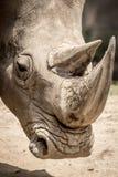 白色犀牛画象 库存图片