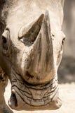 白色犀牛画象 免版税图库摄影