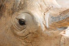白色犀牛眼睛 库存图片
