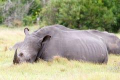 白色犀牛需要睡眠 免版税库存图片
