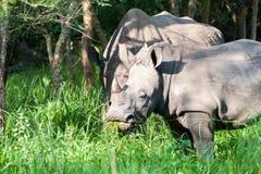 白色犀牛,乌干达 库存图片