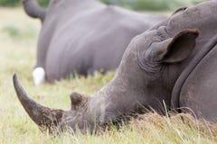 白色犀牛-我仍然有我的垫铁 库存照片