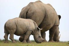 白色犀牛/犀牛母亲和小牛 库存照片