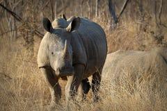 白色犀牛/犀牛,炫耀他巨大的垫铁 非洲著名kanonkop山临近美丽如画的南春天葡萄园 库存图片