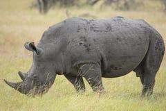白色犀牛(白犀属simum)在南非 库存照片