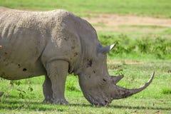 白色犀牛头的特写镜头  库存图片