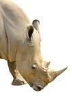 白色犀牛画象在前面 免版税库存照片
