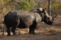 白色犀牛 库存照片