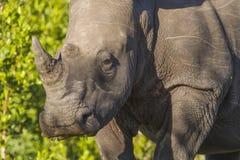 白色犀牛 免版税图库摄影