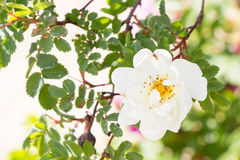 白色狂放的罗斯花臀部开花 库存图片
