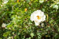 白色狂放的罗斯花臀部开花 图库摄影