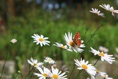 白色狂放的菊花花 库存照片