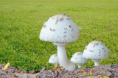 白色狂放的蘑菇小组 免版税图库摄影