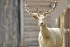 白色狍在秋天 白变种大型装配架 獐鹿de秋天画象  免版税库存图片