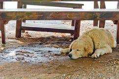 白色狗与变冷静在桌下在一热的天 免版税图库摄影