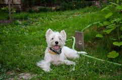 白色狗使用 免版税图库摄影