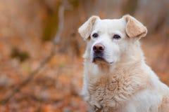 白色狗在秋天森林里 免版税库存照片
