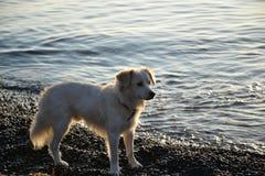 白色狗在Kamari圣托里尼 图库摄影