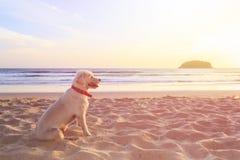 白色狗坐在日落时间的海滩 库存图片